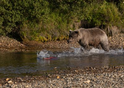 Alaska Brown Bears chasing salmon