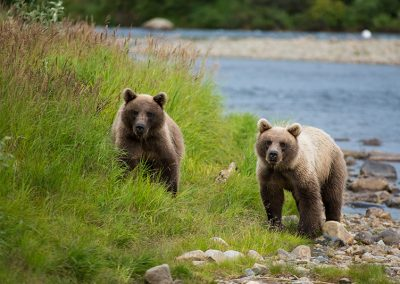 Bear cubs in Alaska